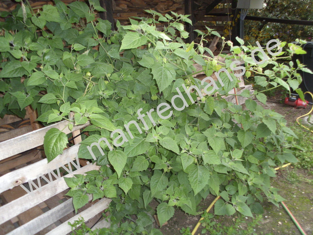 andenbeere columbia physalis hybride saatgut pflanzenrarit ten aus mecklenburg vorpommern. Black Bedroom Furniture Sets. Home Design Ideas