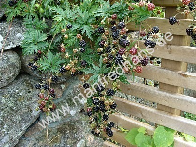brombeeren pflanzenrarit ten aus mecklenburg vorpommern. Black Bedroom Furniture Sets. Home Design Ideas