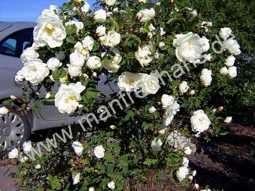 rosen pflanzenrarit ten aus mecklenburg vorpommern. Black Bedroom Furniture Sets. Home Design Ideas