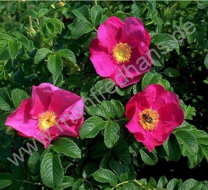 kartoffelrose rosa rugosa pflanzenrarit ten aus mecklenburg vorpommern. Black Bedroom Furniture Sets. Home Design Ideas