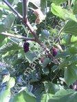 Schwarzfrüchtige Maulbeere Wellington (Morus Hybride)