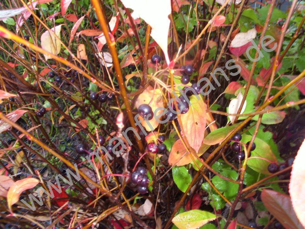 aronia brilliant aronia arbutifolia pflanzenrarit ten aus mecklenburg vorpommern. Black Bedroom Furniture Sets. Home Design Ideas