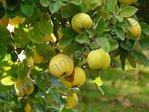Apfelquitte von Lescovac