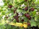 Wildstachelbeere  (Ribes uva-crispa subsp. uva-crispa )