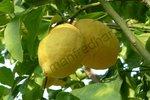 "Ponderosazitrone ( Citrus limon ""Ponderosa"")"