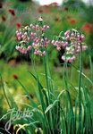Nickender Lauch (Allium cernuum)(Saatgut)