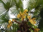 Hanfpalme (Trachycarpus fortunei)(Saatgut)