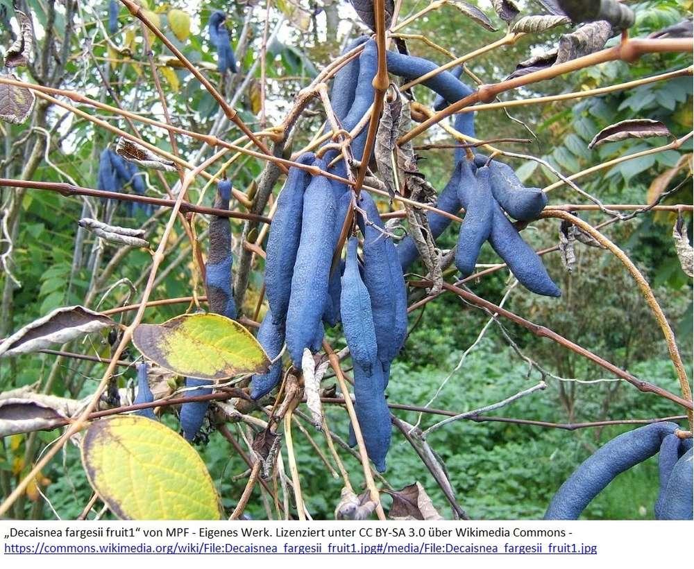 Ganz und zu Extrem Chinesische Blauschote - Pflanzenraritäten aus Mecklenburg-Vorpommern @BD_08