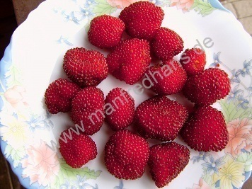 Berühmt Erdbeer-Himbeere (Rubus illecebrosus) - Pflanzenraritäten aus #SN_29