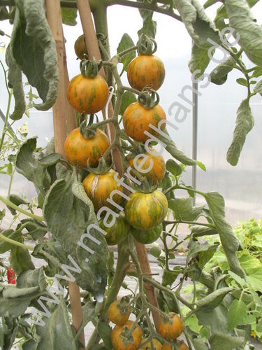 Tomate Orange and Green Zebra (Saatgut)