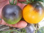 Tomate Blue Orange (Saatgut)